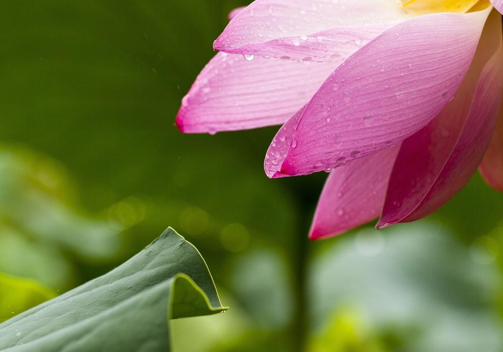 lotus-flowers-nature-lotus-leaf-39361